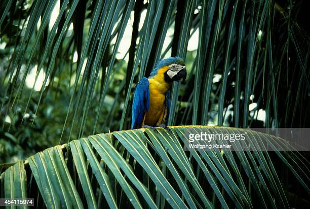 Amazon Rain Forest Blue Gold Macaw Sitting In Branch Of Tree