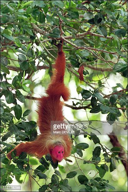 Amazon rain forest Despina Chronopoulos explorer of Mamiraua the world's largest nature reserve in Brazil in April 2002 A red Uakari in a park in...