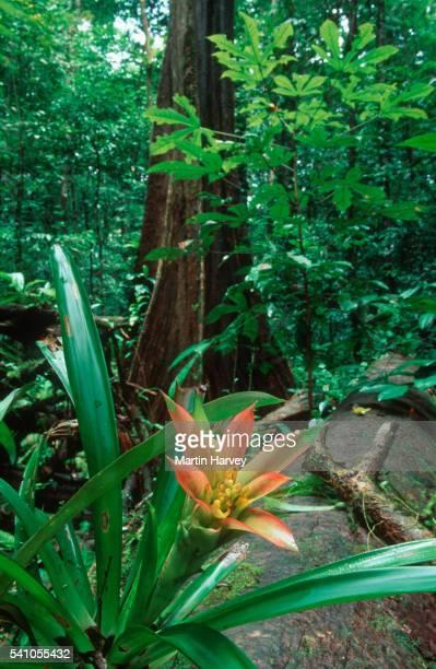 amazon rainforest - bromeliad ストックフォトと画像
