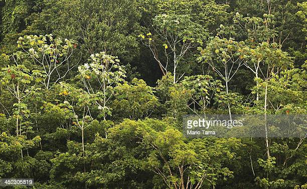 Amazon rainforest trees stand as seen from a transport riverboat in the Brazilian Amazon from Maues to Manaus on November 27 2013 in Amazonas State...