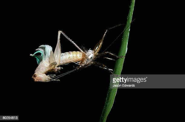A grasshopper sheds its exoskeleton during a humid night.