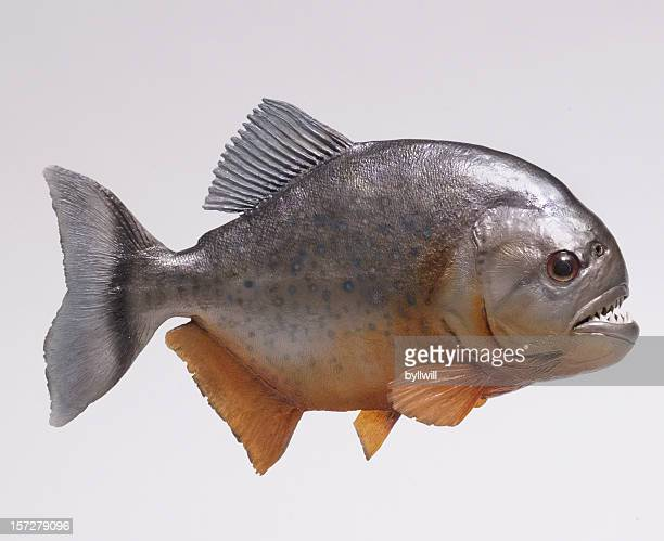 Amazon river pirahna fish side