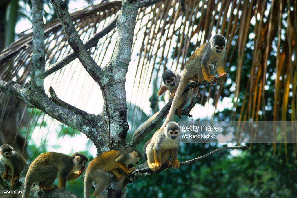 Amazon, Squirrel Monkeys In Tropical Rainforest... : News Photo