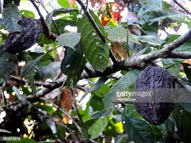 Amazon Theobroma Cacao