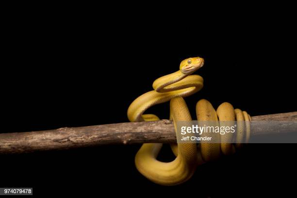 amazon tree boa (corallus hortulanus) coiled around branch - rettile foto e immagini stock