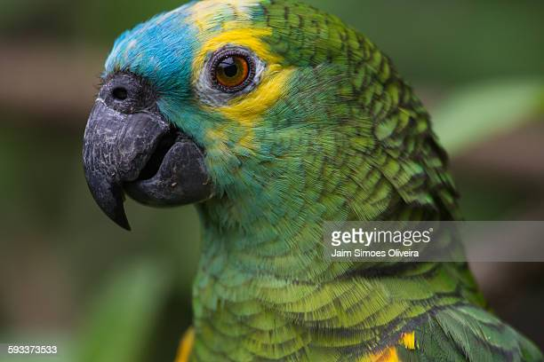 Blue Fronted Amazon Stock Pictures Royalty Free Photos Images
