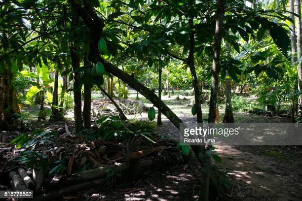 Amazonian Chocolate