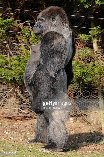 Ambam, a 21 year old Silverback gorilla, stands on his hind legs at Port Lympne zoo in Kent south east England, on January 28, 2011. The male name...
