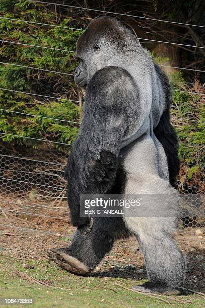 Ambam, a 21 year old Silverback gorilla, walks on his hind legs at Port Lympne zoo in Kent south east England, on January 28, 2011. The male name...