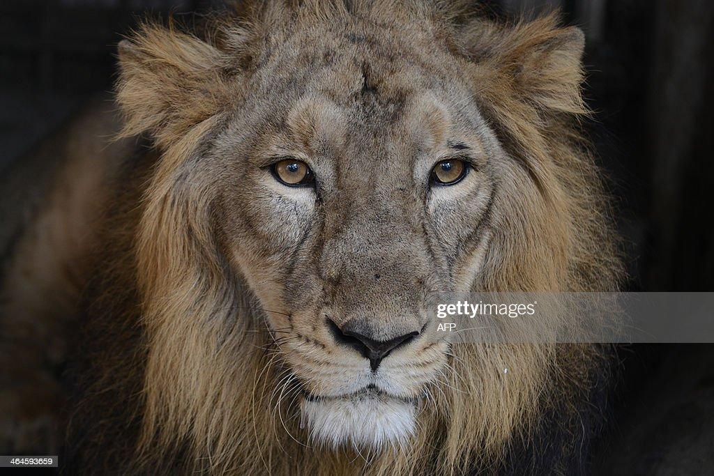 INDIA-ANIMAL-ASIATIC LION : News Photo
