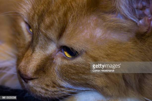 amber eyes - conor stock pictures, royalty-free photos & images