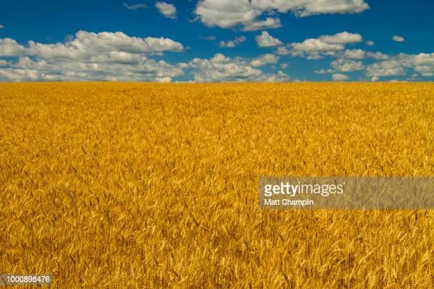 Amber Waves of Grain - Summer Wheatfield and Blue Skies
