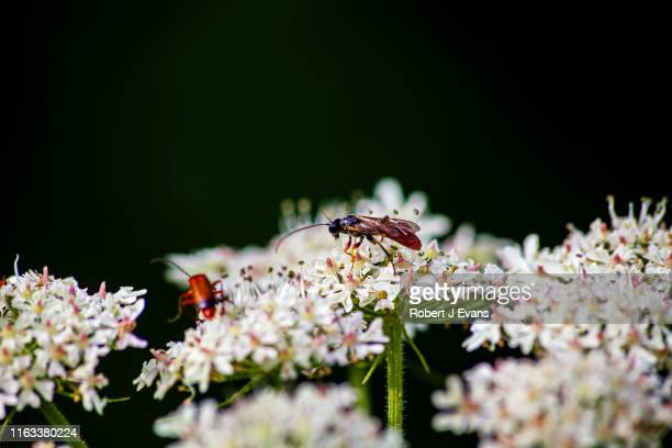 amblyjoppa fuscipennis ( type of wasp ) - south yorkshire stock pictures, royalty-free photos & images