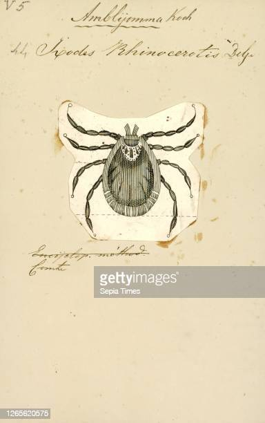 Amblyomma. Print. Amblyomma is a genus of hard ticks. Some are disease vectors. For example for Rocky Mountain spotted fever in Brazil or...