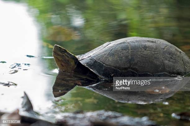 Amboina Box Turtles pictured on March 01 2017 in Riau Indonesia Asian box turtles sometimes called quotambosquot have a black or dark brown...