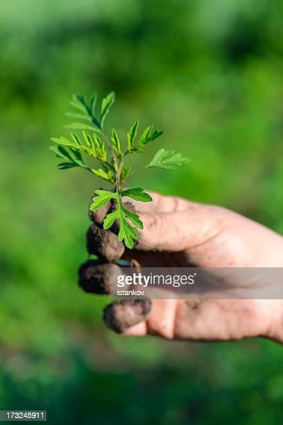 ambrosia plant - ambrosia stock-fotos und bilder