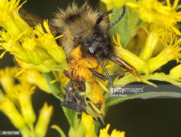 Ambush Bugs  Bumble Bee