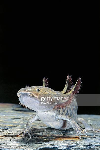 Ambystoma mexicanum (axolotl)