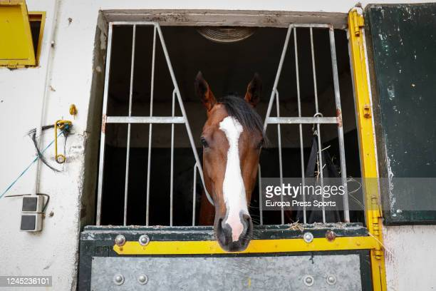 Amedeo Modigliani, the new horse of Vaclav Janacek, is seen at the Hipodromo de la Zarzuela in Madrid during the week in which horse racing in Spain...