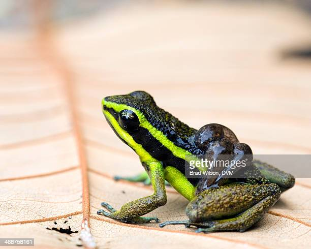 Ameerega petersi, Peru Poison Frog