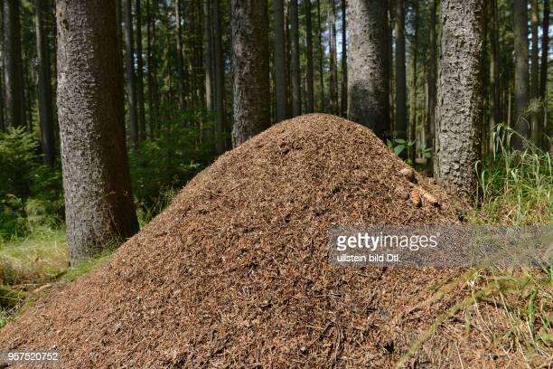 Ameisenhaufen Fichtelgebirge Oberfranken Bayern Deutschland