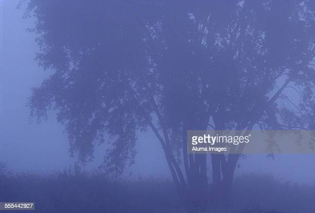 amercan elm in fog - elm tree stock pictures, royalty-free photos & images