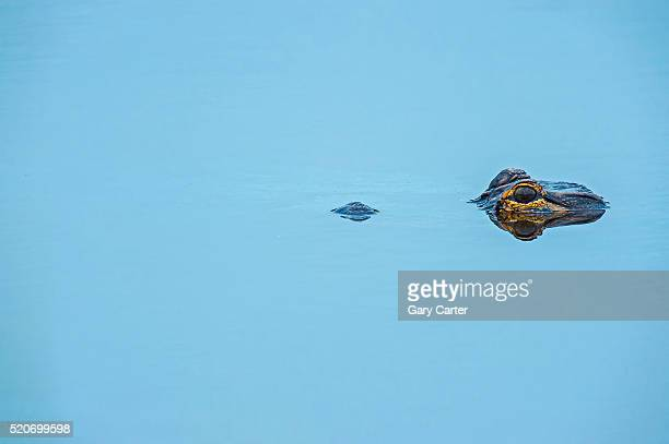 amercian alligator - 一匹 ストックフォトと画像