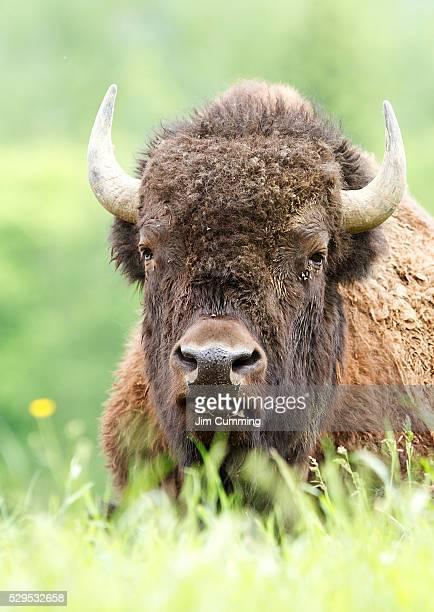 America Buffalo