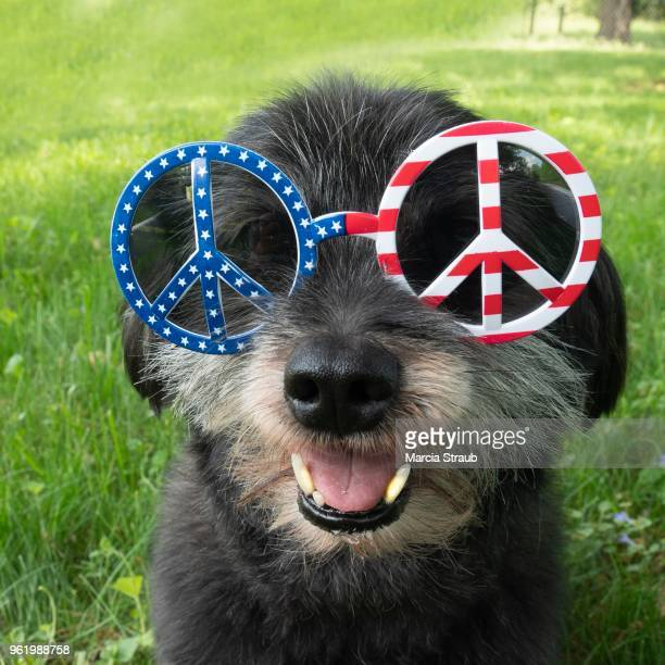 usa america flag dog - memorial day dog stock pictures, royalty-free photos & images