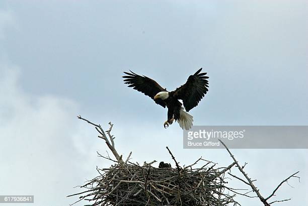america the beautiful - eagle nest stock photos and pictures