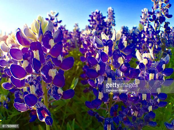 america the beautiful - texas bluebonnet stock pictures, royalty-free photos & images