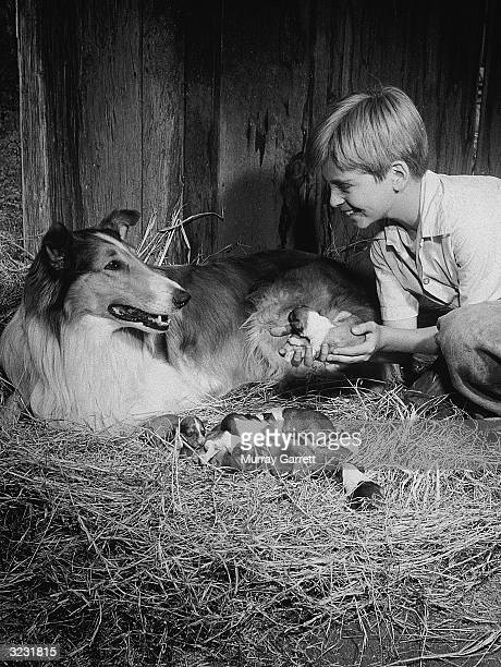 American actor Tommy Rettig crouches beside the collie Lassie his costar from the television series 'Lassie' and holds a puppy from her new litter...