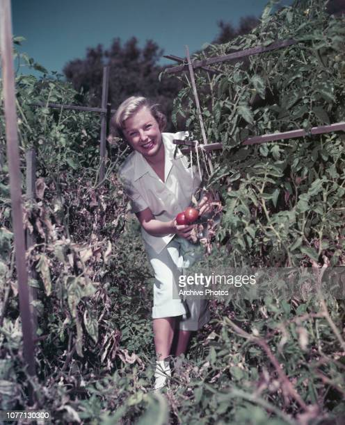 American actress June Allyson picking tomatoes circa 1955