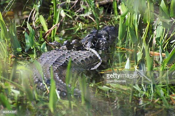 american alligator alligator mississippiensis babies atop mum everglades np