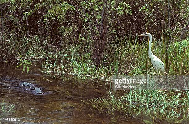 American alligator approaching great white heron in swamp Alligator mississippiensis Great white heron Ardea herodias Anhinga Trail Everglades...