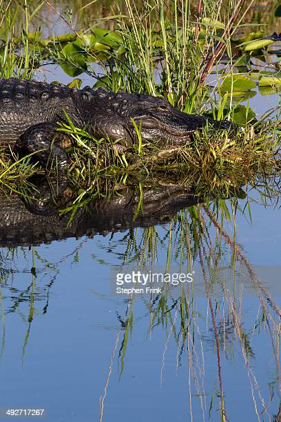 american alligator at rest. - anhinga_trail stock pictures, royalty-free photos & images