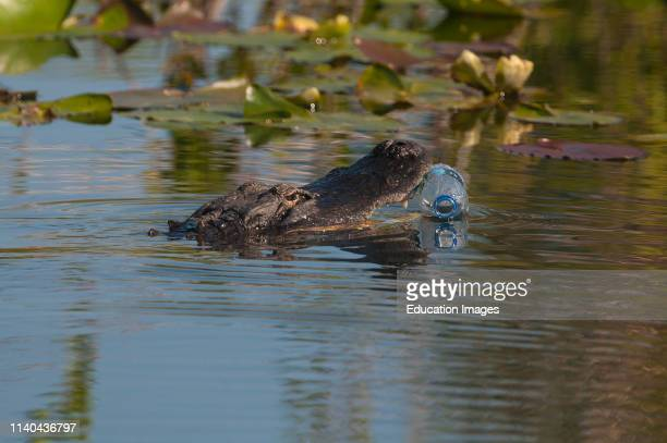 American Alligator attempting to eat a plastic bottle Anhinga Trail Florida Everglades