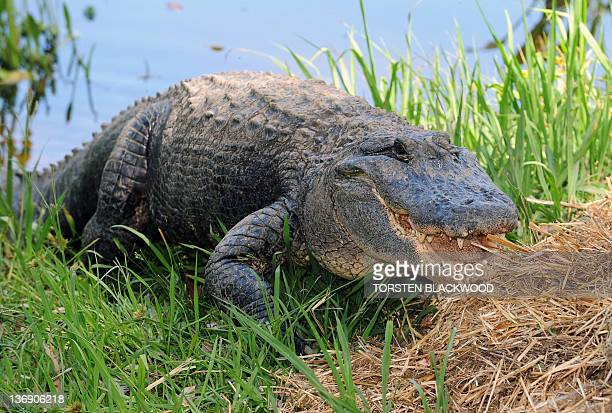 American alligator 'Big Mumma' guards her straw nest at the Australian Reptile Park near Sydney on January 13 2012 The park collects the clutch of...
