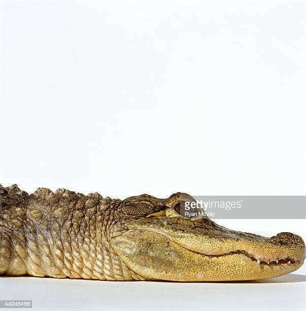 American alligator (Alligator mississippiensis), close-up, side view