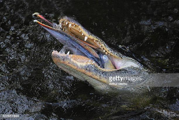 American Alligator Eating a Brown Pelican