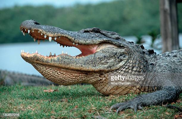 American Alligator, Everglades national park, Florida, USA (Alligator mississippiensis)
