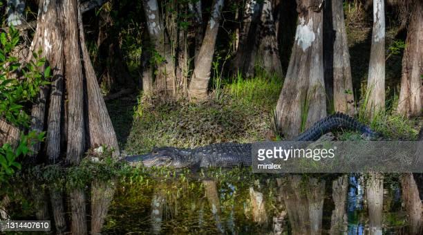 サイプレス沼に隠れているアメリカのアリゲーター - 落羽松 ストックフォトと画像