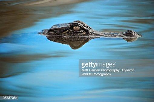 American Alligator in  blue water