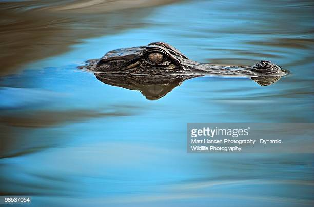 American Alligator in  blue water