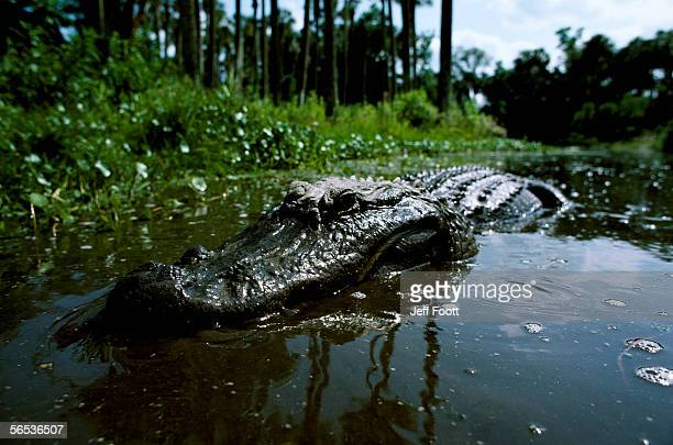 american alligator in swamp. alligator mississipensis. florida, north america. - reptile leather stock pictures, royalty-free photos & images