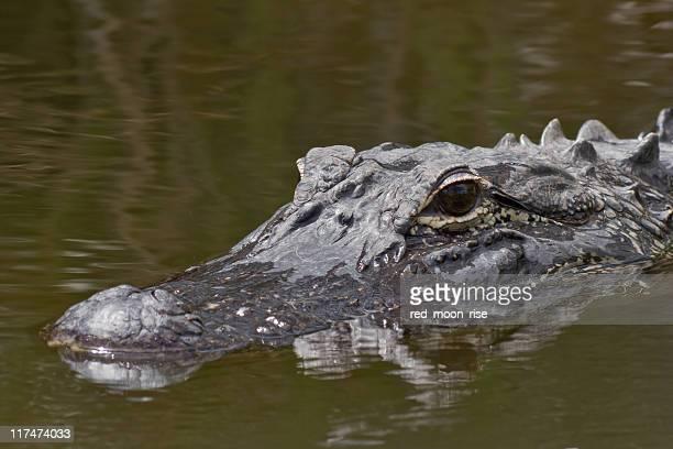 American Alligator in the Everglades