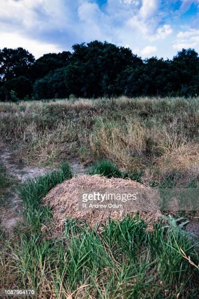 American Alligator nest