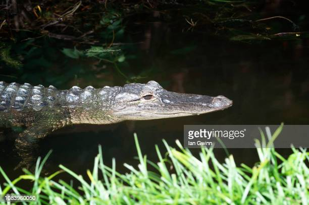 american alligator - ian gwinn stock photos and pictures