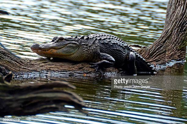 American Alligator Relaxes on Fallen Tree in Lake