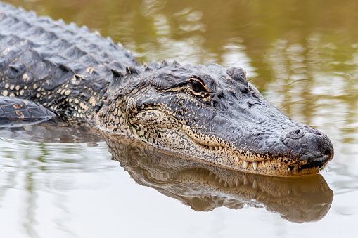 American Alligator swimming in the spring swamp 1171368832